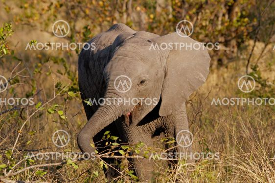 Baby afrikanske elefant