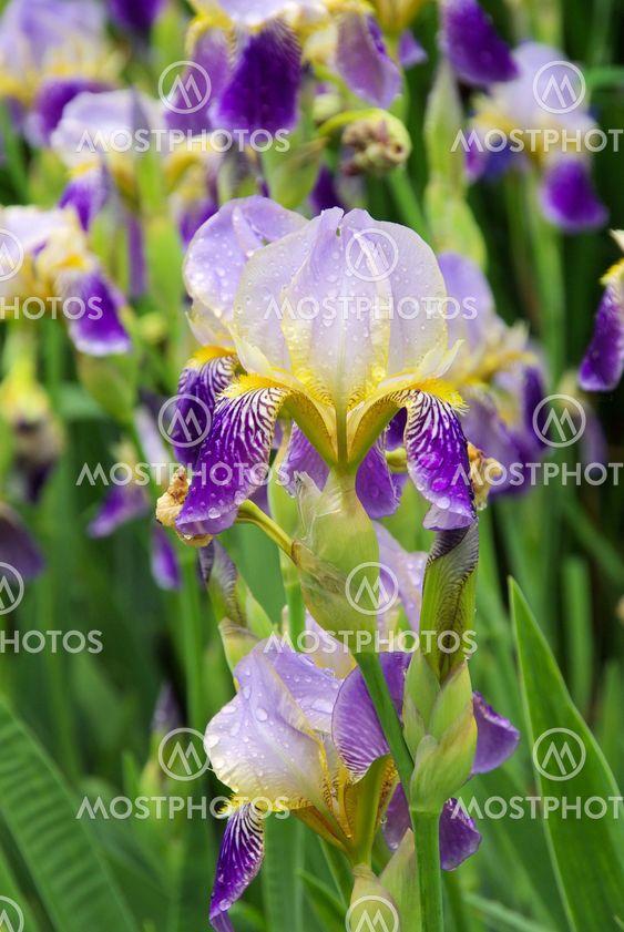 Schwertlilie - iris 43