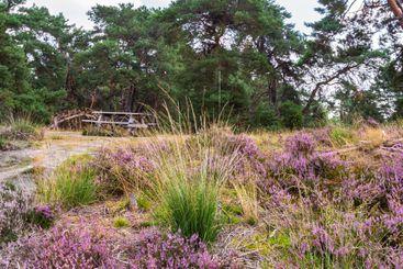 Blooming heather Veluwe Netherlands