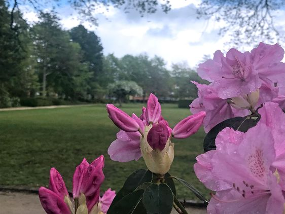 Flowers - rhododendron in park