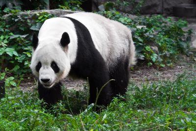 Panda in zoo park