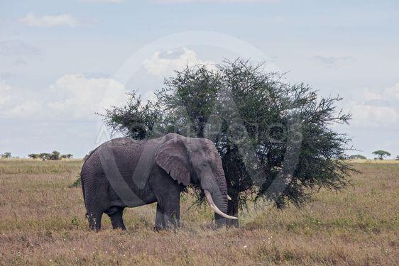 Elephant in Serengeti Nationalpark