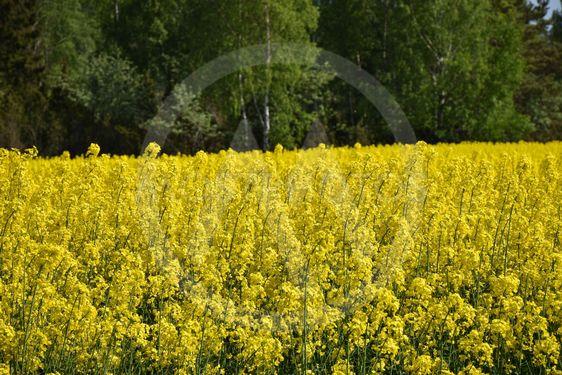 Blommande rapsfält framför en grön skog