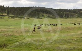 Trail of Bison on the Prairie