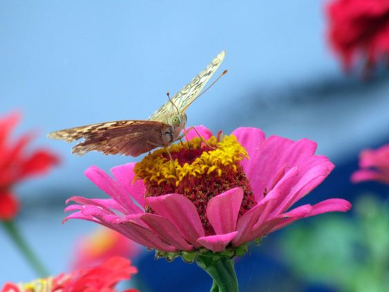 The greater butterfly on a pink flower2