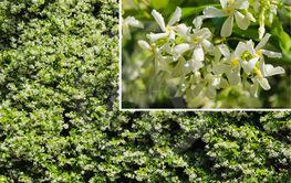 Jasminum Polyanthum. Jasmine flower