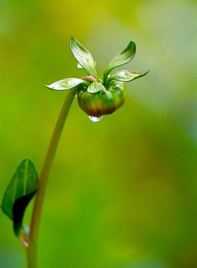 Blommknopp