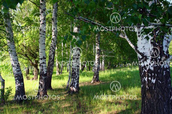 Birk woods