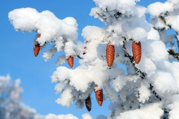 cones on christmas fir branch