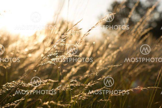 Wild grass field landscape with spikes. Rural scene....