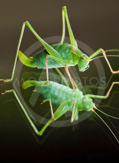 Grasshopper in reflection