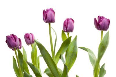 Set of Purple Tulips