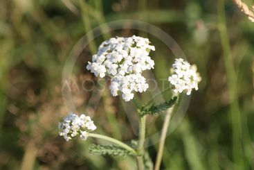 Blooming yarrow in summer
