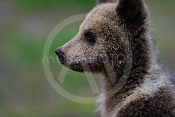 Brown bear cub portrait