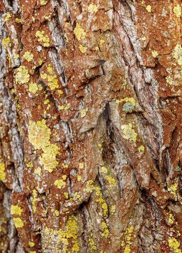 Tree bark texture. Nature wood background. Tree bark...