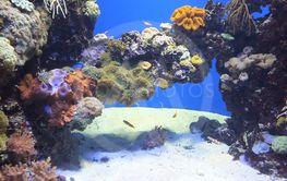 torskellige koraller og farver i bassing