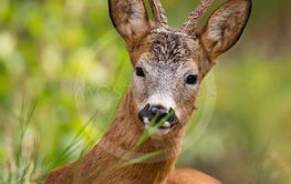 Wild Deer that lie and rest in the beautiful nature