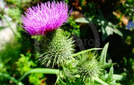 Brightly lit thistle