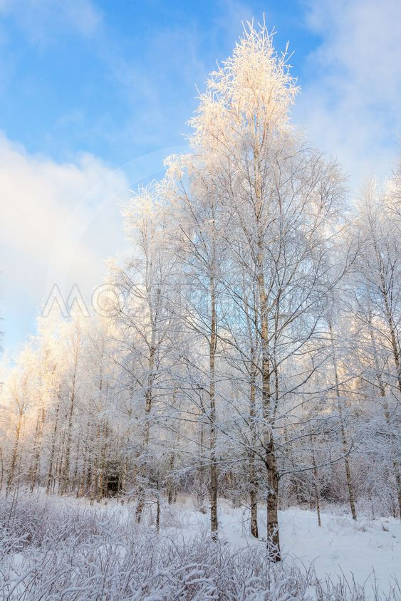 """Björkdunge med rimfrost"" by Lars Johansson - Mostphotos"