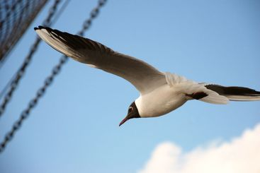 seagull and windjammer