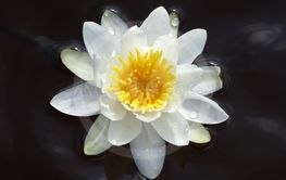 White waterlily floating in water.