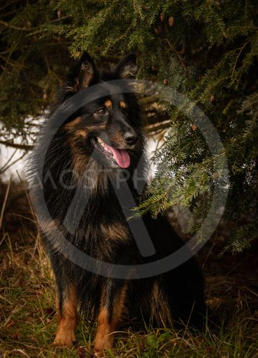 Portrait of Bohemian Shepherd under the pine.
