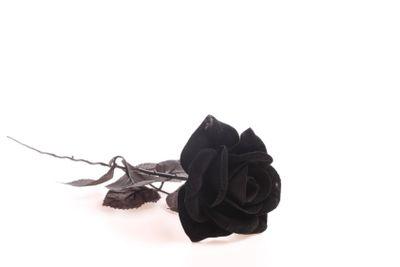 Black rose over white