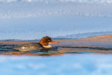Swimming merganser in the sunlight with snowy background.