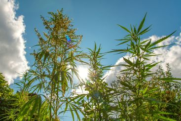 Wild agricultural hemp grows in the countryside
