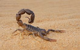 Granulated thick-tailed scorpion