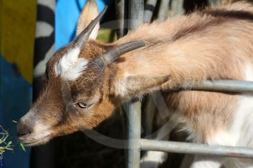 Young goat in the shelter