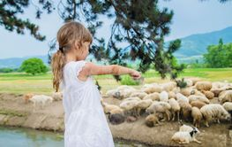 A child looks at a flock of sheep. Travel in Georgia....