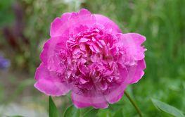 Pink peony, Paeonia lactiflora, Sara Bernhardt.