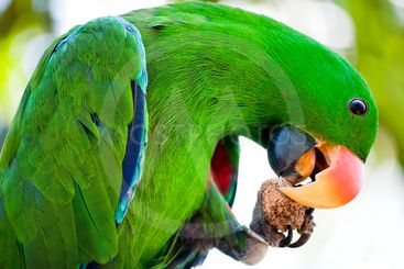 Macaw is eating