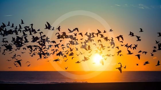 Flocks of birds over the ocean during an amazing sunset.