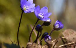 Grupp blommande blåsippor i skogen