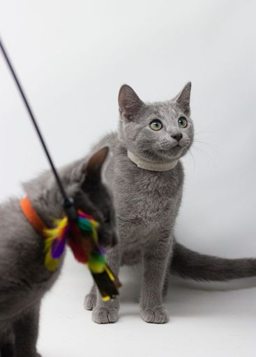Kittens breed russian blue with white background