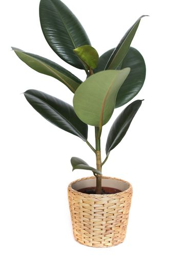 houseplant - ficus, rubber plant, in wicker pot isolated...