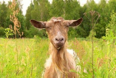 Brown Goat in green village field Farm Animal