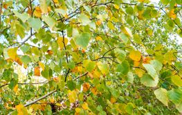 Autumn foliage of a birch tree.