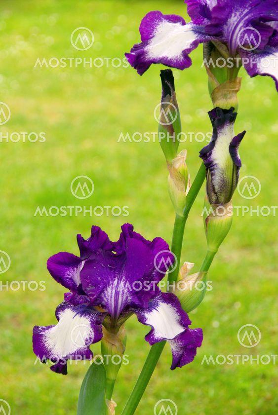 Schwertlilie - iris 50