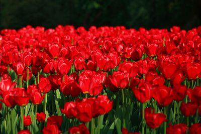 tulip at spring