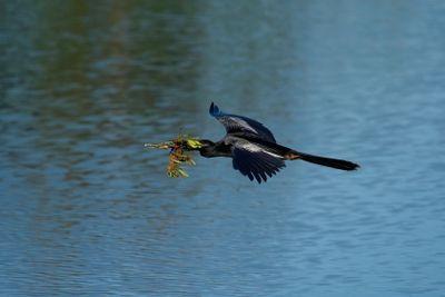 Anhinga flying to the nest