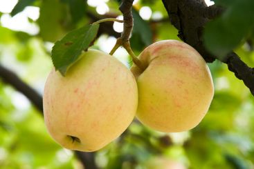 Two apples in a tree