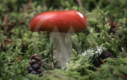 Close up of a red mushroom growing in green moss