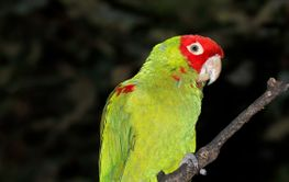 Red-masked conure on a branch