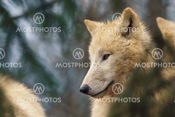 Arctic wolf (Canis lupus arctos), also known as the...