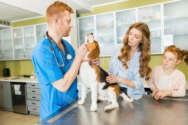 Veterinary examining Beagle dog at clinic, woman and...