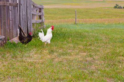 White Rooster Black Hen