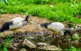 two african sacred ibises together in a river stream,...
